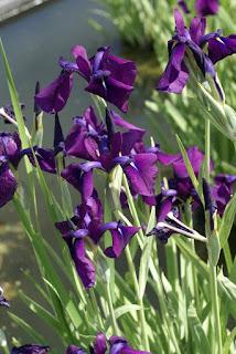 Iris du Japon - Iris kaempferi - Iris ensata