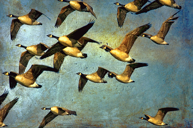 canada geese, birds in flight, textured