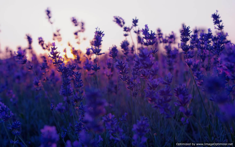 Lavender Flowers Desktop Wallpaper Free Hd Wallpaper