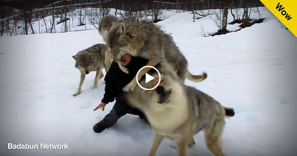 noruega entrenadora video mujer lobos hermosos reencuentro