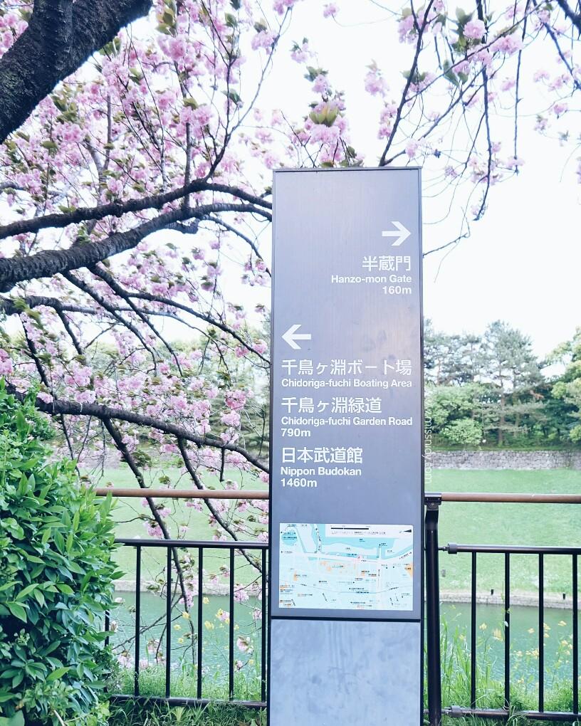 sakura in chidorigafuchi park