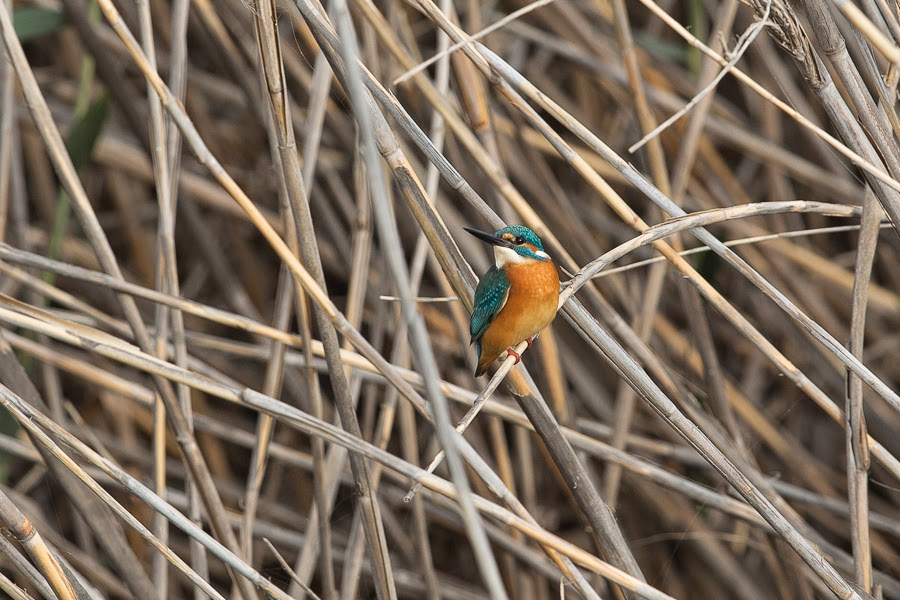 Common Kingfisher - male