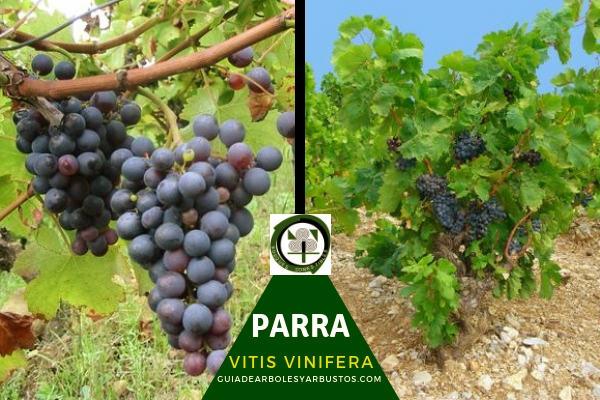 La parra, Vitis vinifera, planta de la familia Vitaceae, su fruto es la uva