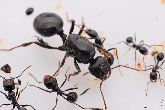 大頭收穫蟻 Messor capitatus - 螞蟻軍團 ANTS SQUAD