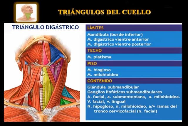 Triángulo digástrico del cuello