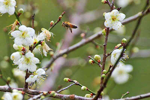 bee, flowers, buds, plum blossoms, branches