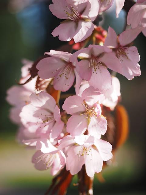 CherryBlossomsCT4U_.jpg