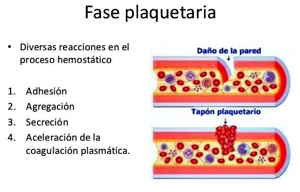 Proceso hemostático fase plaquetaria