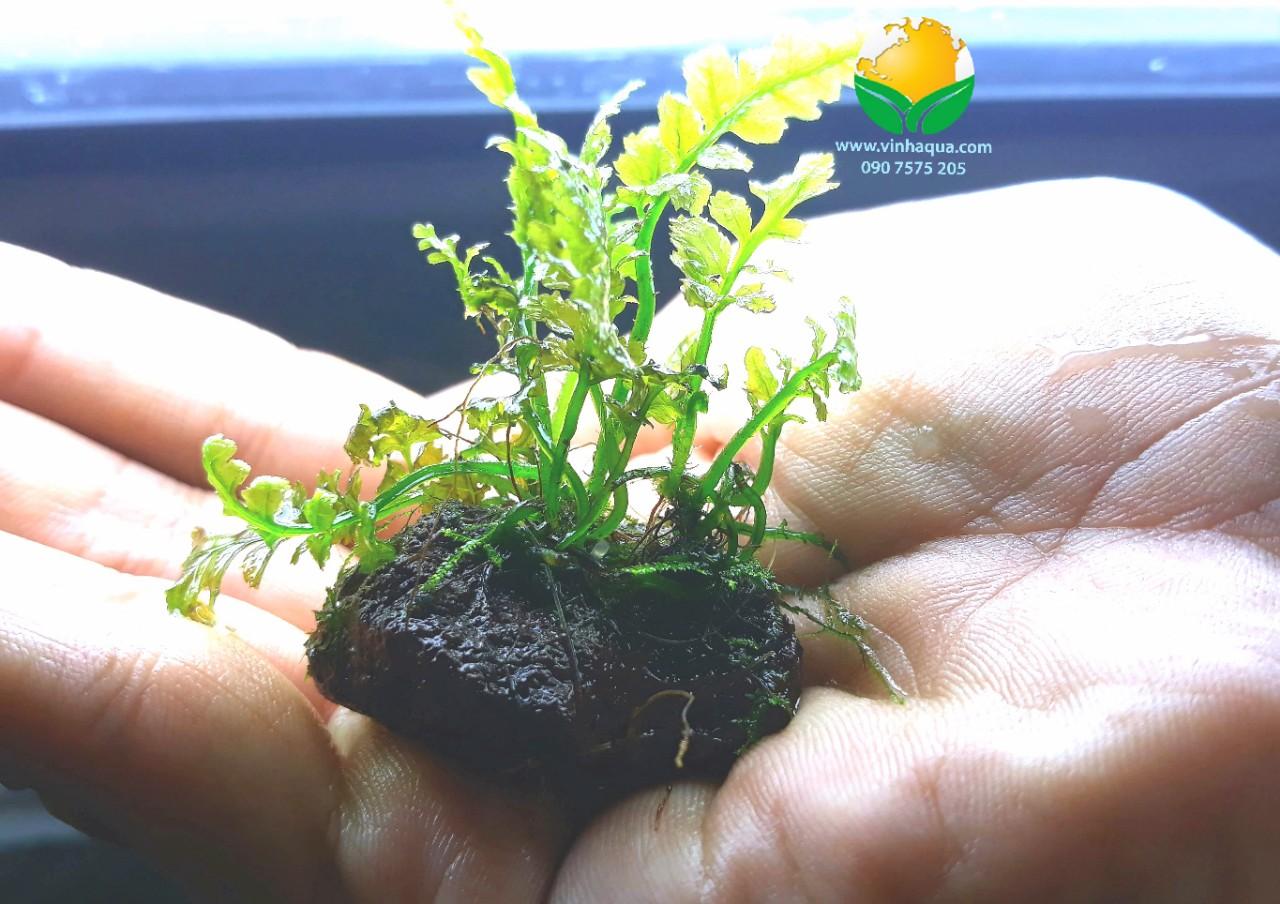 Vẻ đẹp của cây thủy sinh dương xỉ lá ổi