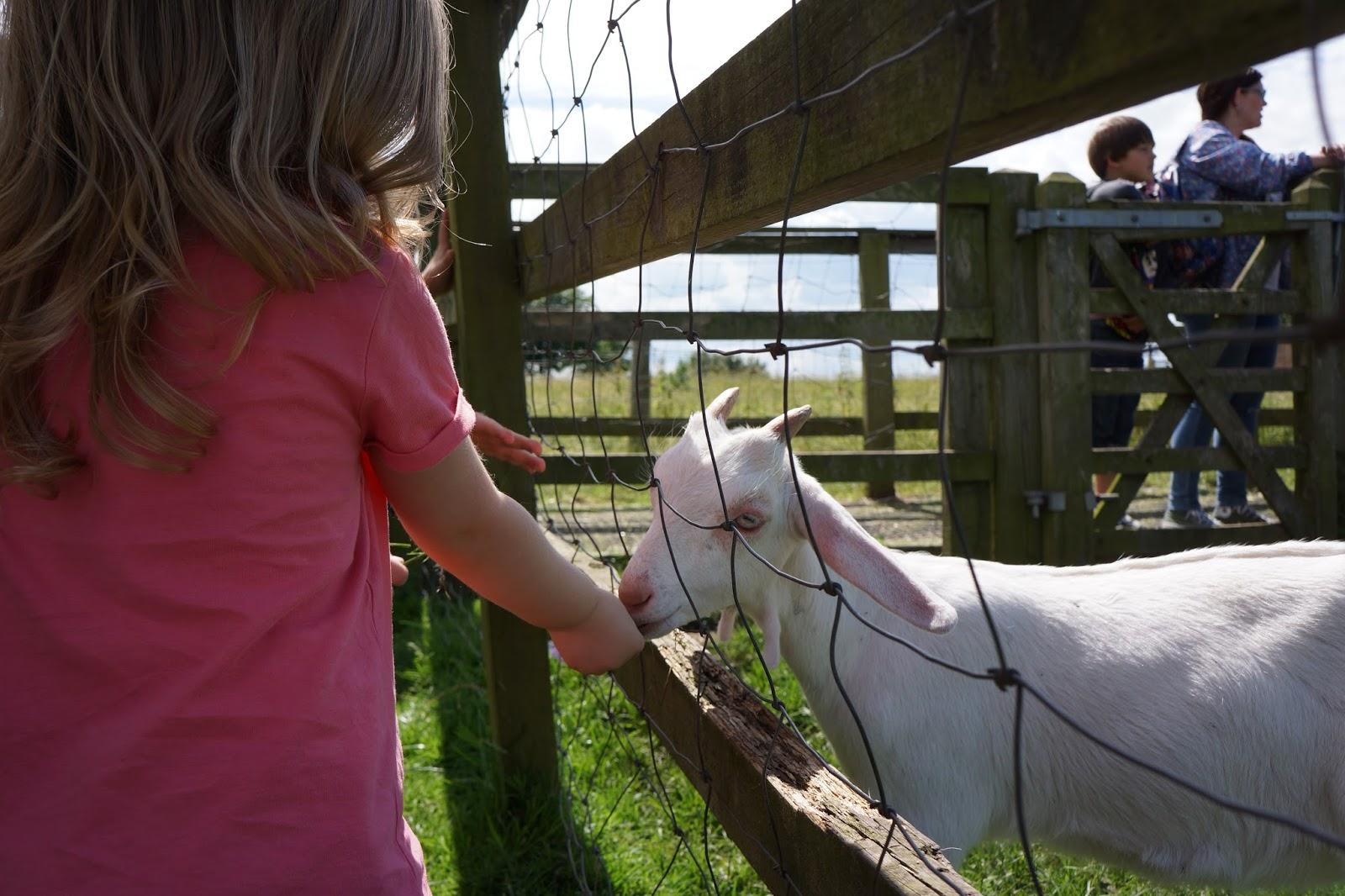 toddler girl feeding a goat