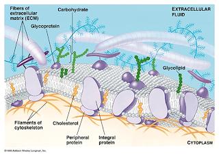 membran plasma atau membran sel