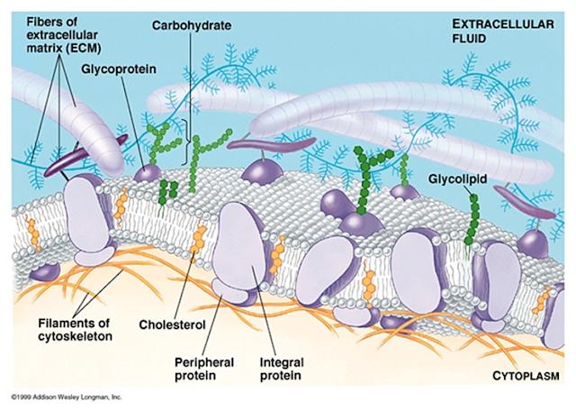 Struktur sel terdiri atas banyak bagian seperti karbohidrat, glikoprotein, protein, kolesterol dan lain-lain