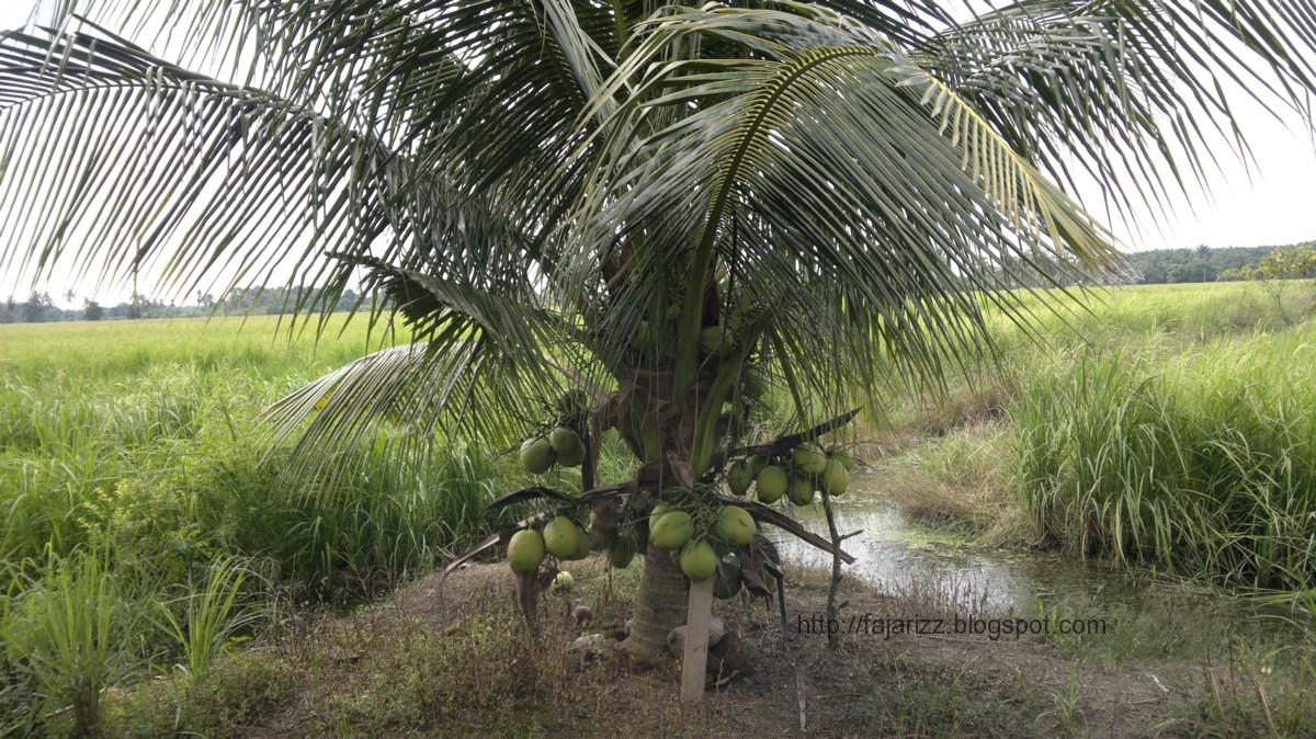 Medium berkongsi informasi: Pokok kelapa depan mata