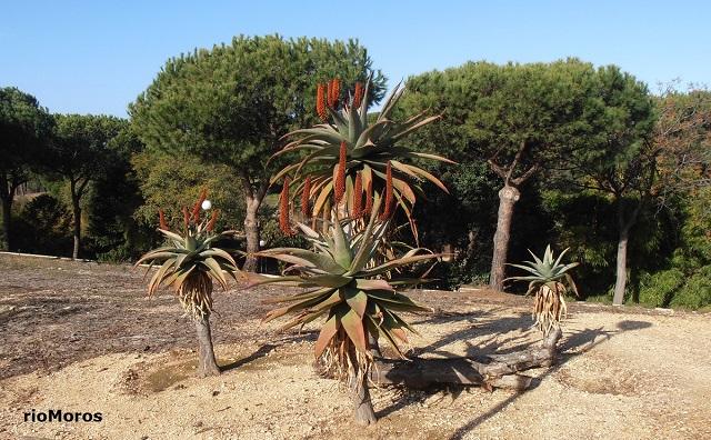 Aloe feroz Aloe ferox