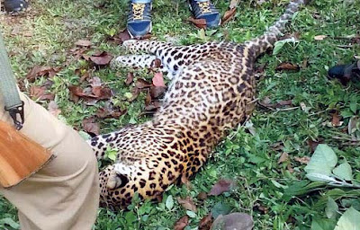 carcass of the leopard found near khaprail bazar