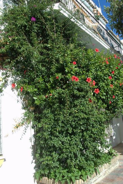 kwitnący hibiskus Hiszpania, Costa del Sol