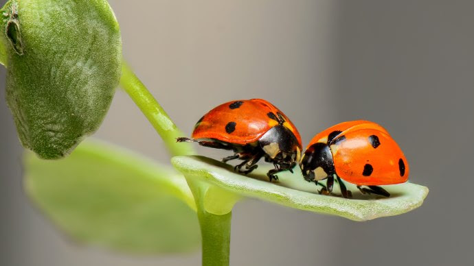 Ladybird Macro Insect