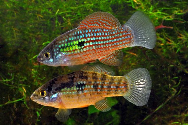 Joe 39 s aquaworld for exotic fishes mumbai india 9833898901 for American flag fish