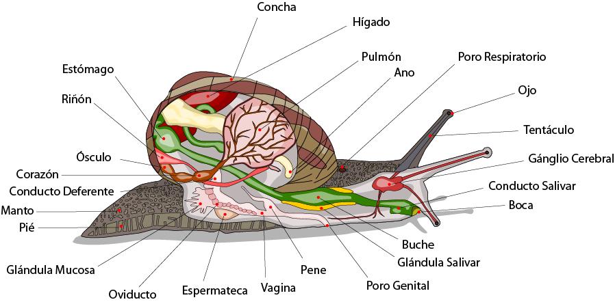 Moluscos gasteropodos reproduccion asexual de las plantas