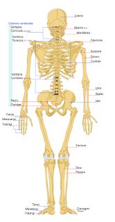 studiamo le ossa in modo facile
