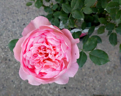 david asutin boscobel rose old bloom - evening look