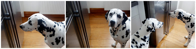 Dalmatian dogs staring at refrigerator with treats inside