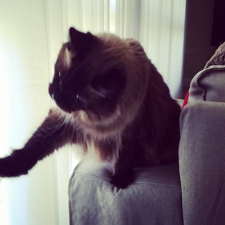 image of Matilda the Fuzzy Sealpoint Cat, sitting on the arm of the sofa, reaching out with her paw to touch the curtains