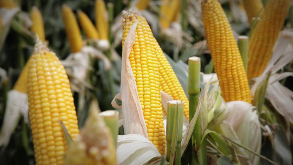 Agroindustria busca desarrollar maíz de alta productividad en Misiones y Corrientes