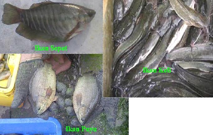 Ternak Ikan Puyu, Sepat, Keli, Tilapia Haruan Udang Galah Ketutu dalam kolam: Ikan Puyu Sepat