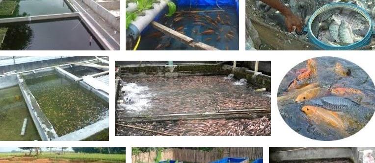 Syarat Kolam Ikan Nila Jika Ingin Berhasil dan Cepat Tumbuh