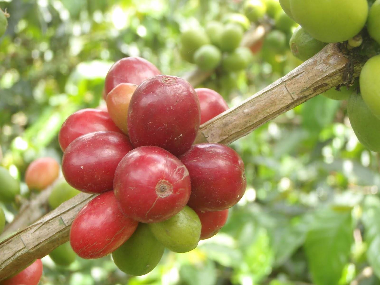 Resultado de imagen para fruto de caf