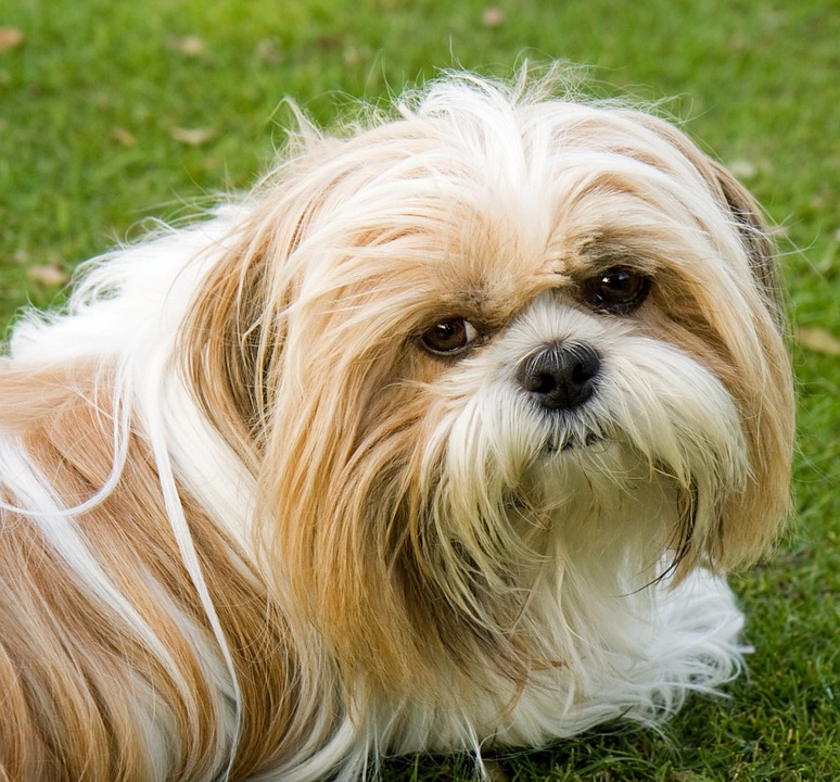 Anjing Shih Tzu Puppy Watak Dan Cara Merawatnya