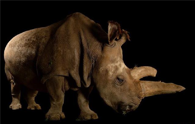 Seeking to rewind mammalian extinction: The effort to save the northern white rhino