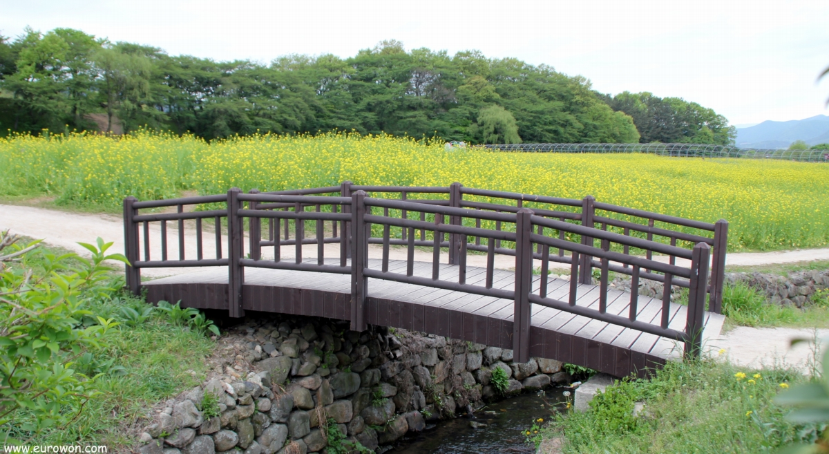 Puente de madera para acceder a un campo de flores de colza