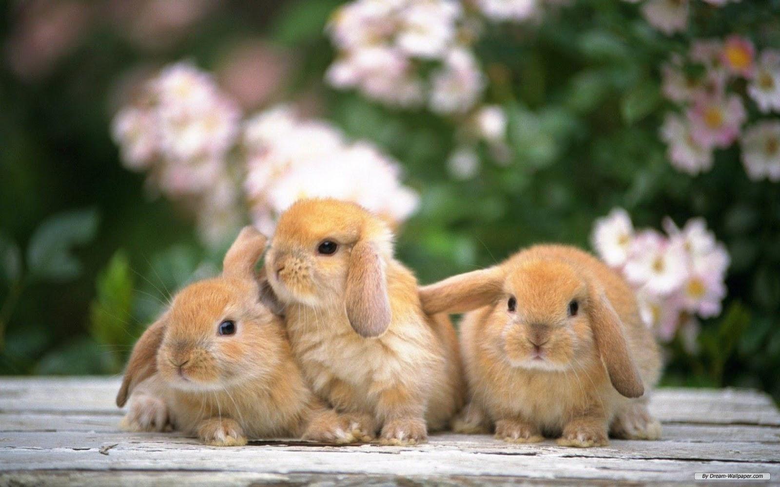 gambar kelinci dan 20 buaya gambar kelinci berumur 2 bulan  gambar kacang 2 kelinci gambar pt 2 kelinci