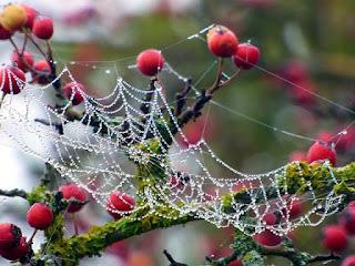nhện đỏ hoa hồng