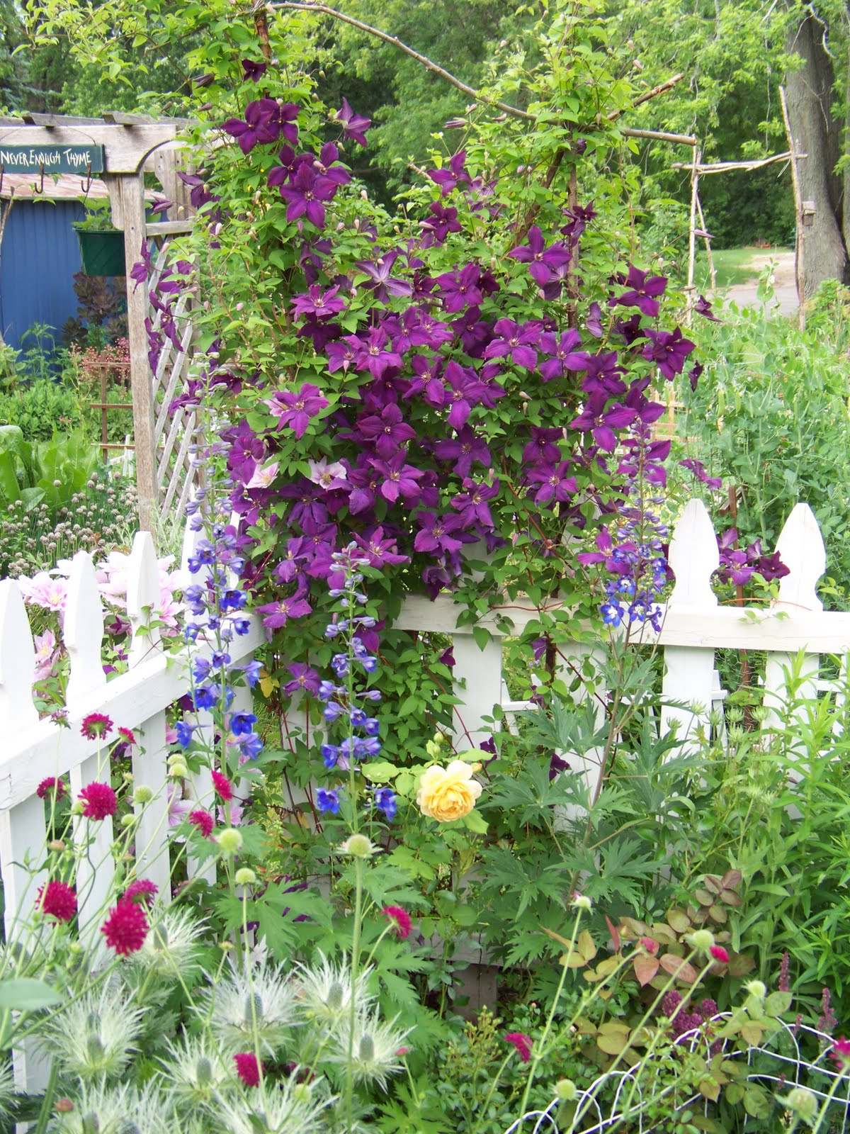 I Love My Garden: Clematis Photos- Best Of 2011: Part 1