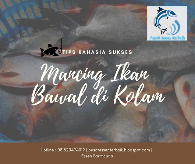 Trik Rahasia Mancing Ikan Bawal Di Kolam Super Ampuh - Pusat Essen Terbaik