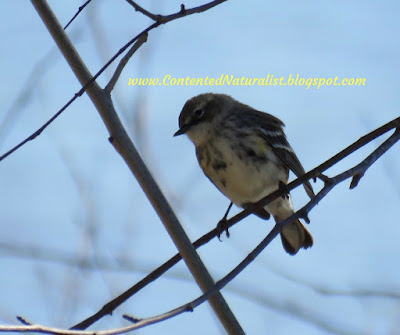 A yellow-rumped warbler sitss on a thin branch with blue sky behind it
