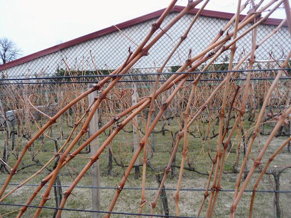 Шабо. Центр культури вина. Виноградний сад