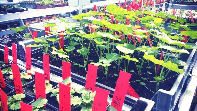 Où acheter semences et plantons à Genève ? Association Artichauts