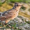 Cara Perawatan Burung Anis Kembang Saat Musim Hujan