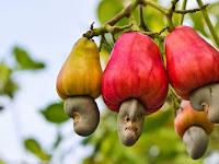 Manfaat Jambu Mede (Jambu Monyet) Untuk Kesehatan dan Pengobatan Serta Kandungan Gizinya Lengkap