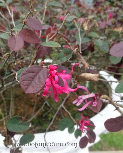 Loropetalum chinense var. rubrum, Chinese Fringe Flower