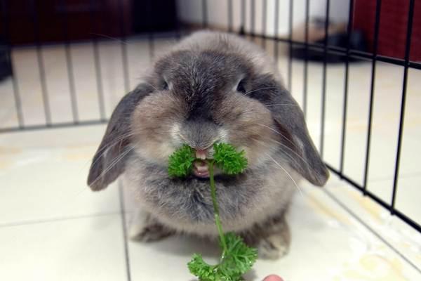arnab-gemuk-makan-sayur