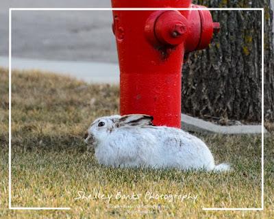 Prairie Hare, Saskatchewan. ©Shelley Banks, 2016. All Rights Reserved.
