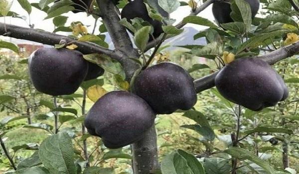Τα σπάνια μαύρα μήλα που καλλιεργούνται σε ένα μόνο μέρος του κόσμου