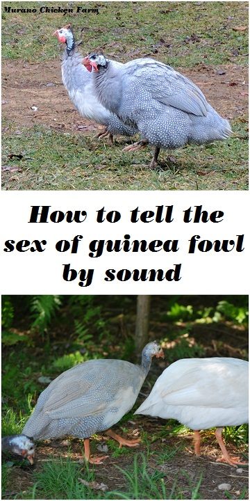 How to tell the sex of Guinea fowl by sound (It's really