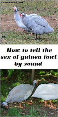 guinea fowl sounds