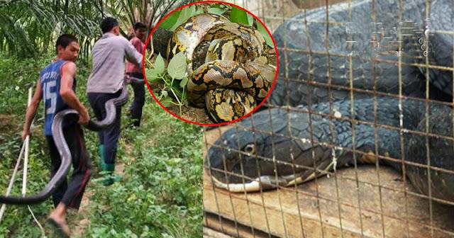 #สุดบ้าระห่ำ..!!! งูจงอางยักษ์ ฟัดงูเหลือม สุดท้ายเหลือเชื่อมันน่าทึ่งมากๆ..!!!